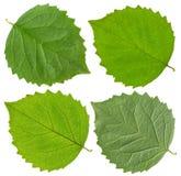Zielony jaśminowy liść Zdjęcia Stock