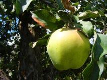 Zielony jab?czany rodzaj Antonovka zdrowe jedzenie wegetarianin r?ki barwiona ilustracja zrobi? natury lato ?wie?a owoc obraz stock