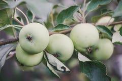Zielony jabłko na gałąź świeże jabłczana green Zdjęcie Stock