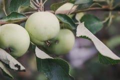 Zielony jabłko na gałąź świeże jabłczana green Zdjęcia Royalty Free