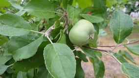 Zielony jabłko na gałąź zdjęcie wideo