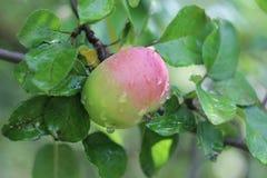 Zielony jabłko na gałąź Fotografia Stock