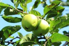 Zielony jabłko na gałąź Zdjęcie Royalty Free