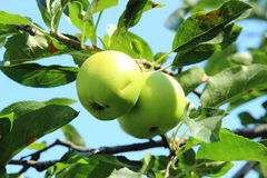 Zielony jabłko na gałąź Obrazy Royalty Free