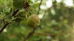 Zielony jabłko na gałąź z liśćmi Jabłoń ogród w wieczór zbiory wideo