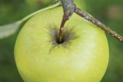 Zielony jabłczany makro- Obraz Royalty Free