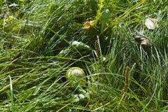 Zielony jabłko na trawie Obraz Royalty Free