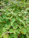 Zielony jadalny gorzkiego grochu ober?yny drzewo, owoc i Solanum torvum ro?lina zdjęcia stock