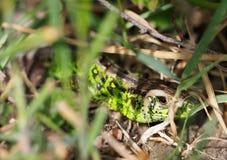 Zielony jaszczur patrzeje ty chuje w trawie fotografia stock