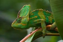 zielony jemenchameleon Zdjęcie Stock