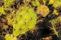Zielony Kłującej bonkrety kaktusa liść Obrazy Royalty Free