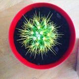 Zielony kłujący kaktus w Czerwonym garnku Zdjęcie Royalty Free