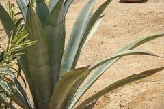 Zielony kłujący kaktusowy zakończenie Zdjęcie Royalty Free