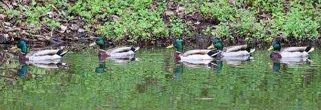Zielony kaczka kaczora mallard dopłynięcie w Jeziornym Charlevoix Michigan zdjęcia royalty free