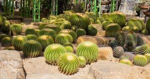 Zielony kaktus Obrazy Stock