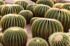 Zielony kaktus Obraz Stock