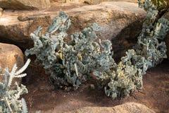 Zielony kaktus Zdjęcie Royalty Free