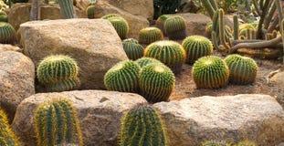 Zielony kaktus Fotografia Stock