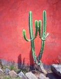 Zielony kaktus i czerwieni ściana Zdjęcie Royalty Free