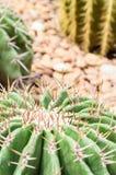 Zielony kaktus i kolec Zdjęcie Royalty Free
