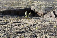 Zielony kaktus na lawowej ziemi Timanfaya w Lanzarote wyspa kanaryjska Tenerife zdjęcie royalty free