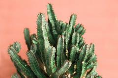 Zielony kaktus na pomarańczowym tła naturalnym świetle zdjęcie stock