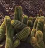 Zielony kaktus na suchej ziemi fotografia stock