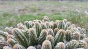 Zielony kaktus w flowerpot Kaktusowi ciernie zdjęcie royalty free