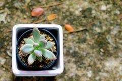 Zielony kaktus w kwiatu garnku Zdjęcia Royalty Free