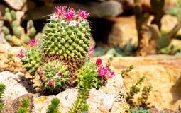 Zielony kaktus z różowym purpura kwiatem zdjęcia royalty free