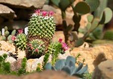 Zielony kaktus z r??owym purpura kwiatem obraz stock