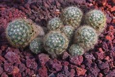 Zielony kaktus z unikalnym kształtem na czerwonym tle zdjęcia royalty free