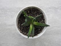 Zielony kaktus zasadzający w garnku, odgórny widok zdjęcie royalty free