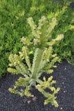 zielony kaktusa bujny Obrazy Royalty Free