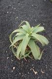 zielony kaktusa bujny Obraz Stock