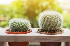 zielony kaktusowy drzewo Zdjęcie Royalty Free