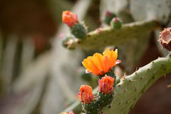 Zielony Kaktusowy rośliny zbliżenie Zdjęcie Royalty Free