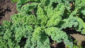 Zielony Kale w ogródzie zdjęcie wideo