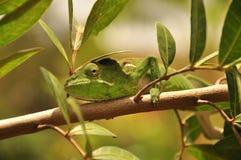 Zielony kameleon Obraz Stock