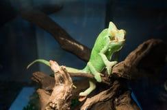 Zielony kameleon Obrazy Royalty Free