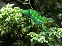 Zielony kameleon Zdjęcia Stock