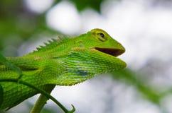 zielony kameleon na drzewnym baga?niku obrazy stock