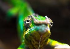 Zielony kameleon przeglądać zakończenie up Fotografia Stock