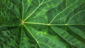 zielony kartoflany włókno liść Fotografia Royalty Free