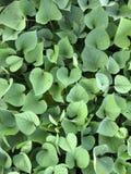 zielony kierowy liść Fotografia Royalty Free