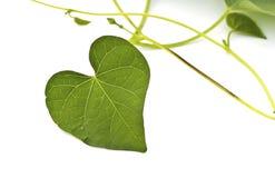 Zielony Kierowy liść odizolowywający zdjęcia stock