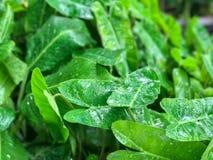 Zielony Kierowy liścia filodendron Zdjęcie Royalty Free