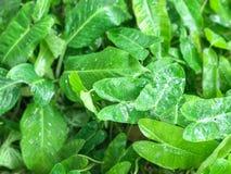 Zielony Kierowy liścia filodendron Obraz Royalty Free