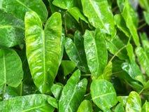 Zielony Kierowy liścia filodendron Zdjęcie Stock
