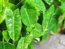 Zielony Kierowy liścia filodendron Obraz Stock